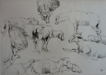 Etudes De Moutons / Studies Of Sheep