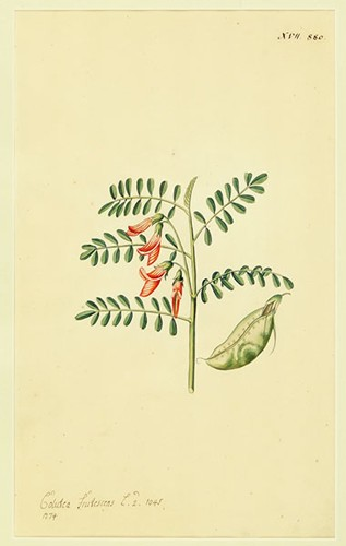 Artist Unknown - Calutea Frutescens-1771