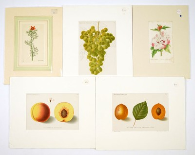 A Collection of 19th Century Botanical Prints and Watercolors-