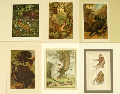 A Collection of 18th and 19th Century Prints of Mammals-