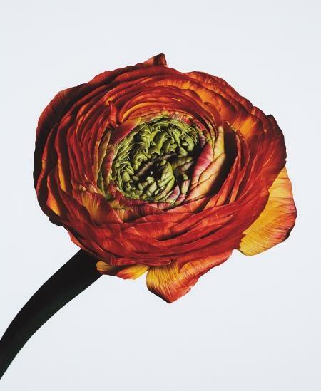 Irving Penn-Ranunculus/ Ranunculus Asiaticus: Picotee (New York)-2006