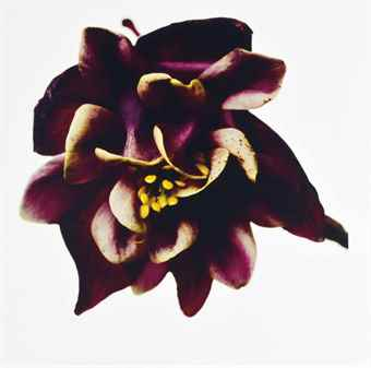 Columbine/Aquilegia vulgaris: William Guiness, New York-2006
