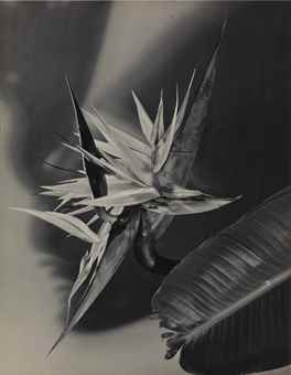 Man Ray-Untitled (Flower)-1940