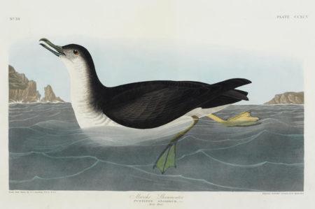 John James Audubon-After John James Audubon - Marsh Wren (Pl. C); Manks Shearwater (Pl. CCXCV)-1836