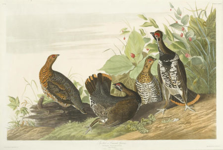 John James Audubon-After John James Audubon - Spotted or Canada Grouse (Pl. CLXXVI)-1833