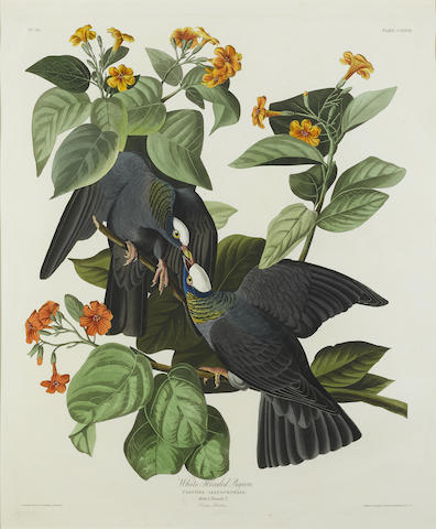 After John James Audubon - White-headed Pigeon (Pl. CLXXVII)-1833