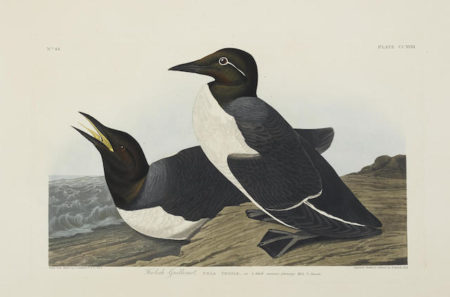John James Audubon-After John James Audubon - Foolish Guillemot (Pl. CCXVIII); Slender-billed Guillemot (Pl. CCCCXXX)-1838