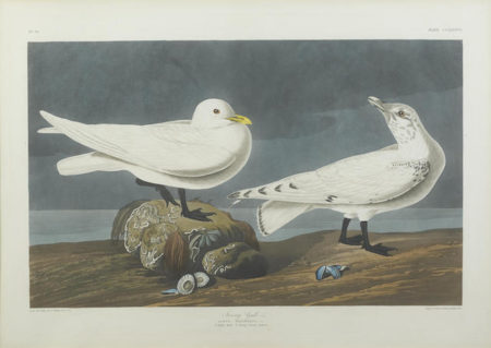 John James Audubon-After John James Audubon - Ivory Gull (Pl. CCLXXXVII)-1835