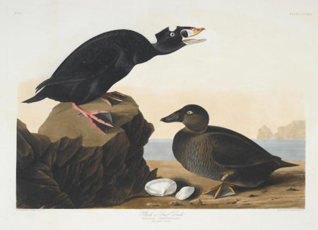 John James Audubon-After John James Audubon - Black or Surf Duck (Pl. CCCXVII)-1836