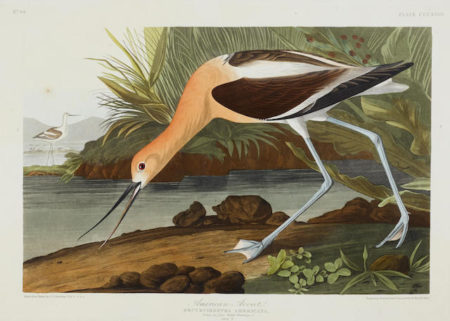 John James Audubon-After John James Audubon - American Avocet (Pl. CCCXVIII)-1836