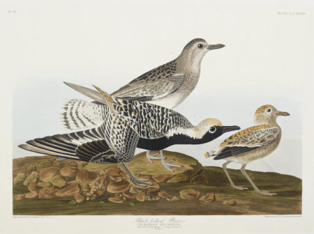 John James Audubon-After John James Audubon - Ring Plover (Pl. CCCXXX); Black-bellied Plover (Pl. CCCXXXIV) 2-1836
