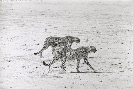 Peter Beard-Hunting Cheetahs on the Taru Desert, Kenya, June-1960