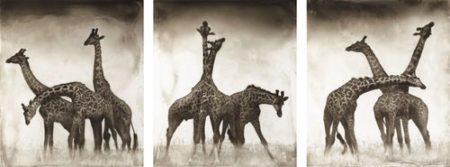 Nick Brandt-Giraffe Triptych', Maasai Mara-2005