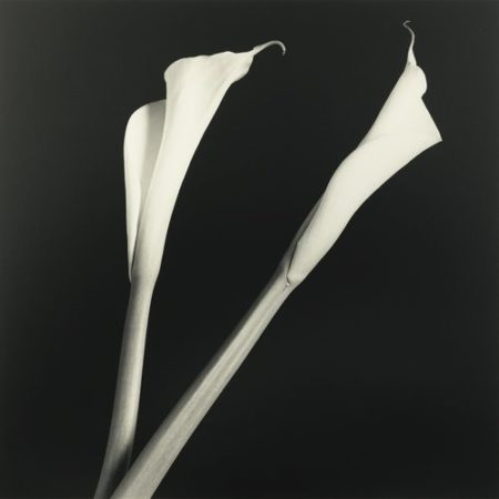 Robert Mapplethorpe-Calla Lilies-1985