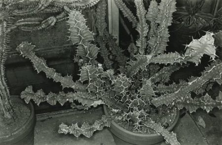 Lee Friedlander-Cactus, Brooklyn Botanical Garden-1973