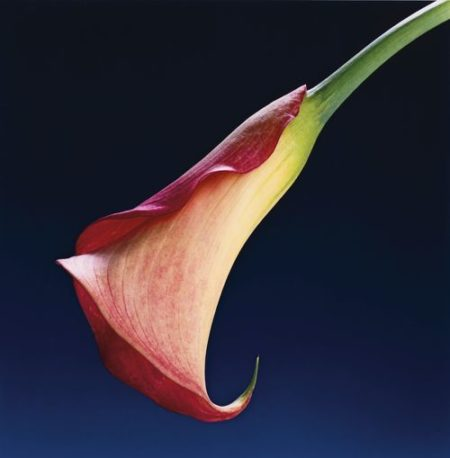 Robert Mapplethorpe-Calla Lily-1988