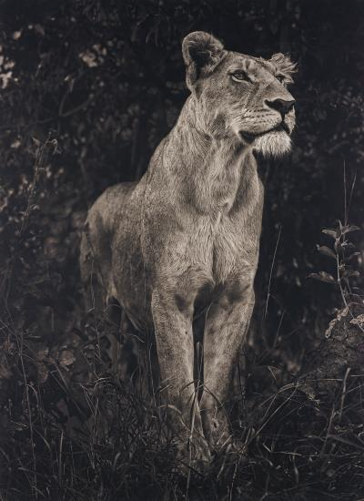 Nick Brandt-Lioness Against Dark Foliage, Serengeti-2012