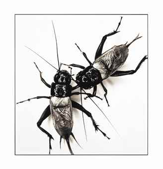 Irving Penn-Two fighting crickets, New York, July 12-2005