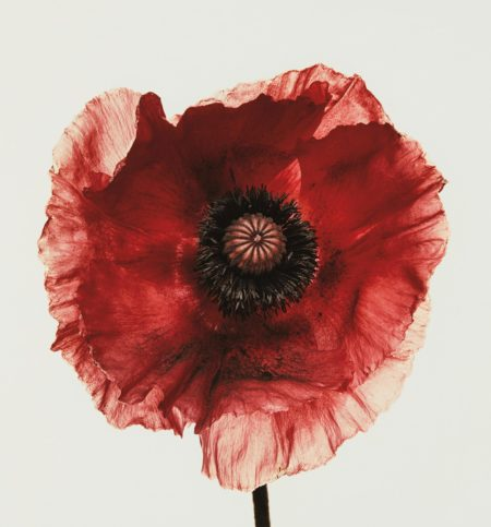 Irving Penn-Poppy: Burgundy, New York-1968
