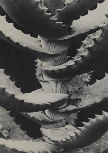 Albert Renger-Patzsch-Lillacege Aloe Arboresceus-1923