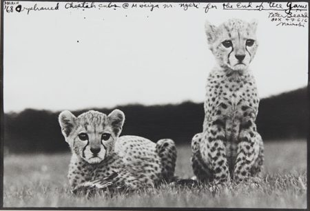Orphaned Cheetah Cubs, Mweiga National Park, Kenya For The End Of The Game-1968