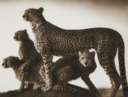Nick Brandt-Cheetah And Cubs, Masai Mara-2003