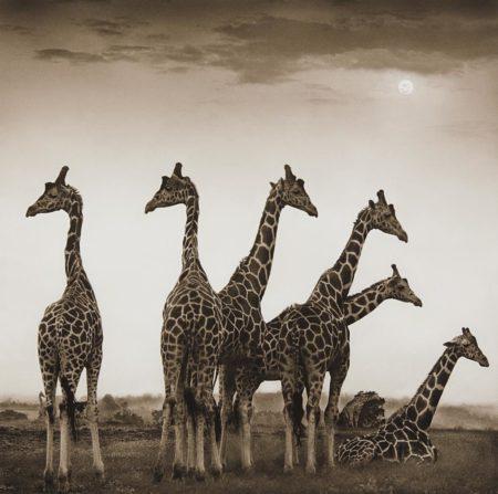 Nick Brandt-Giraffe Fan, Aberdares-2000