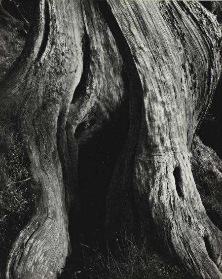 Edward Weston-Cypress Point Lobos-1930