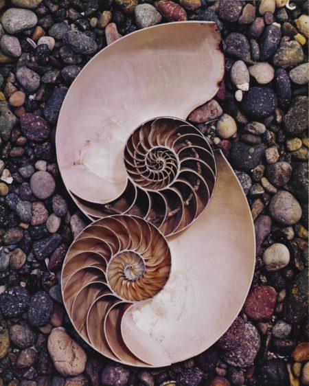 Edward Weston-Nautilus Shells-1947