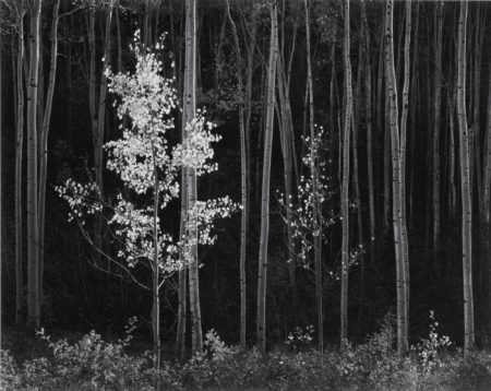 Ansel Adams-Aspens New Mexico-1958