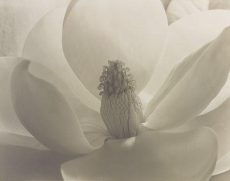 Imogen Cunningham-Magnolia-1925