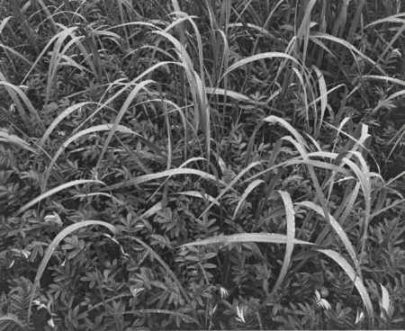 Ansel Adams-Grass And Rain Alaska-1948