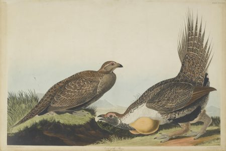 John James Audubon-After John James Audubon - Cock of the Plains (Pl. CCCLXXI)-1837