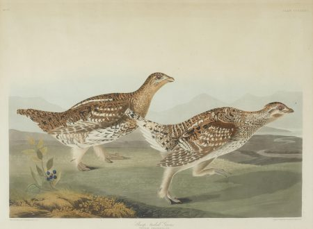 John James Audubon-After John James Audubon - Sharp-tailed Grous (Pl. CCCLXXXII)-1838