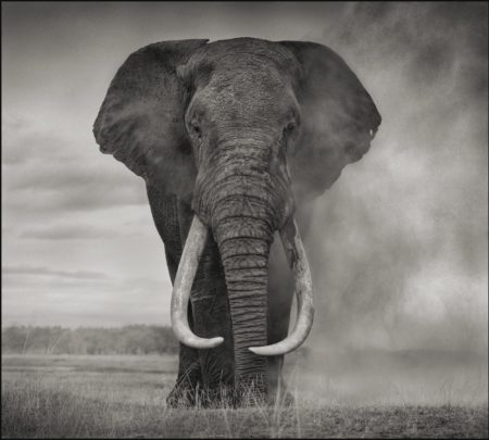Elephant In Dust' Amboseli-2011