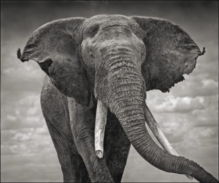 Nick Brandt-Elephant With Tattered Ears' Amboseli-2008