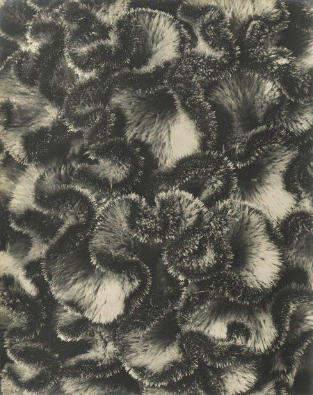 Karl Blossfeldt-Celosia Cristata Hahnenkamm Vers-1920