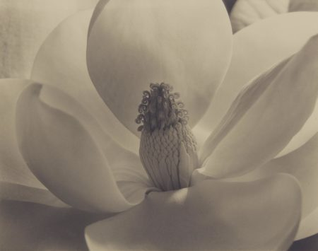 Imogen Cunningham-Magnolia Blossom-1925