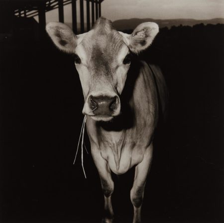 Peter Hujar-Cow with Straw in Its Mouth-1978