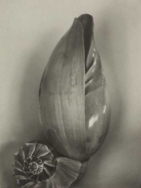 Edward Weston-Shells (3S)-1927