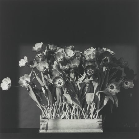 Robert Mapplethorpe-Tulips-1983