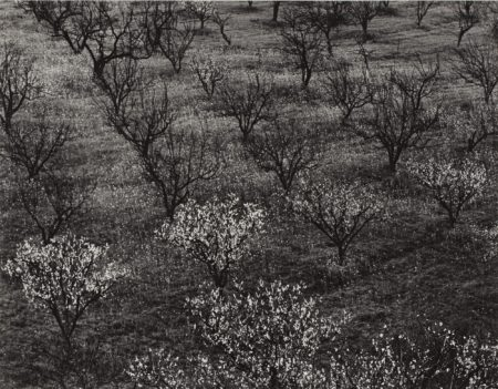 Ansel Adams-Orchard, Portola Valley Ca.-1953