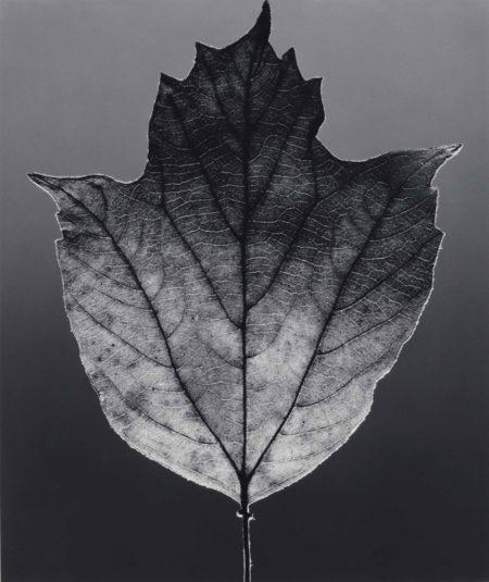 Robert Mapplethorpe-Leaf-1987