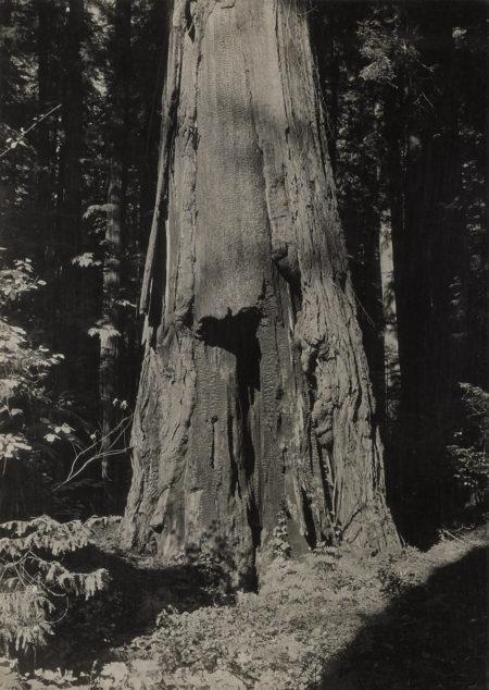 Ansel Adams-Calaveras Grove-1930