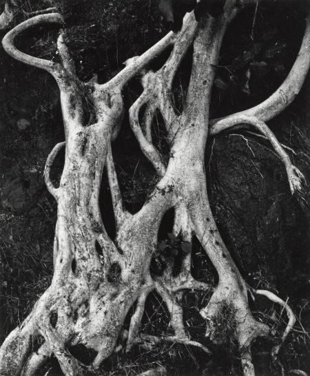 Brett Weston-Tree Trunks, Mexico-1973