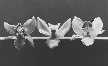 Robert Mapplethorpe-Orchid, 1985-1985