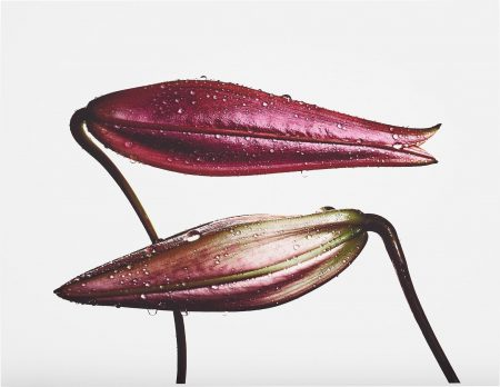 Irving Penn-Imperial Pink Bud (Top), Imperial Gold Bud (Bottom), New York-1971