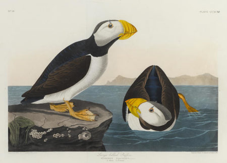 John James Audubon-After John James Audubon - Large-billed Puffin (Pl. CCXCM)-1836