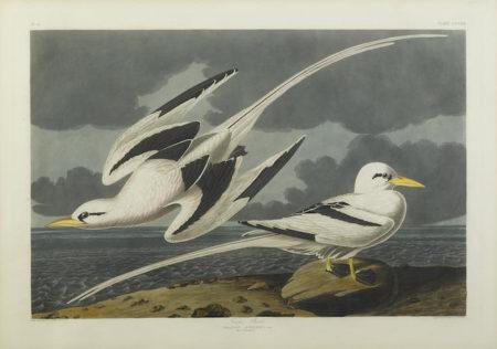 John James Audubon-After John James Audubon - Tropic Bird (Pl. CCLXII)-1835