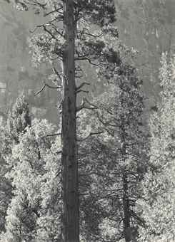 Ansel Adams-Cedar Tree, Cliffs, Yosemite Valley-1939